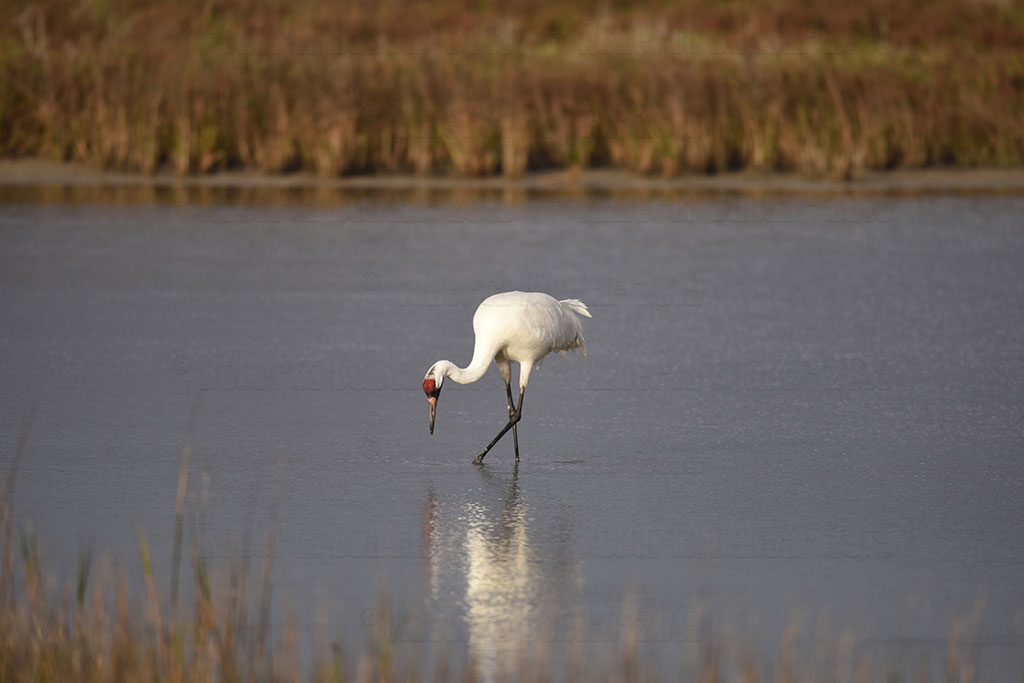 A Whooping Crane in a wetland at Aransas National Wildlife Refuge