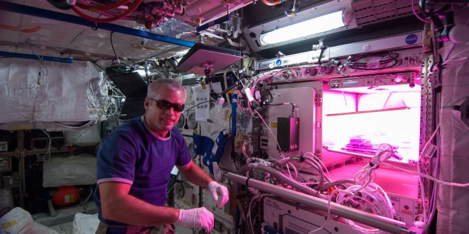 Astronaut Steve Swanson tends to the Veggie experiment